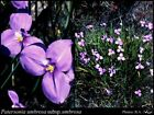 Native Slender Iris Seed Drought & Frost Resistant Clumping Plant Mauve Flower