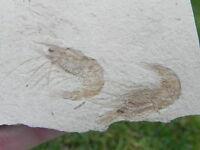 1e Fossil Shrimp Lebanon Cretaceous  AWESOME SHRIMP !!!