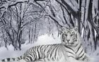 "Tiger white in snow forest Beautiful CANVAS ART PRINT 16""X 12"" poster cat"