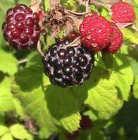 20 Brandywine Raspberry Seeds Abundant Fruit