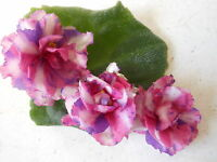 African Violet Chimera!!!!Psychedelic Show Starter Plant!!!!!!