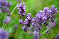 Lavendel @ Staude @ Heil-/Gewürz-/Tee-Pflanze @ winterhart @ mind. 20 Samen