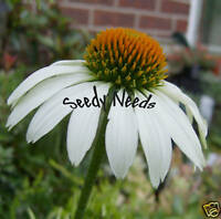 ECHINACEA - White Swan *ADORED BY BUTTERFLIES* 20 seeds
