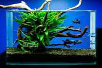 Java Fern-Live Plant for Vivarium Terrarium Aquarium