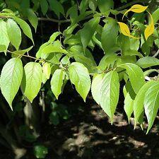 HARDY RUBBER TREE Eucommia Ulmoides 5,10 SEEDS