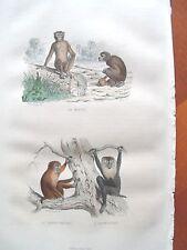 c54-76 Gravure 1839 Buffon magot, papion, ouanderou