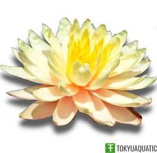 Nymphaea Mangkala Ubol Yellow Orange Hardy Water Lily Tuber Live Pond Plant Koi