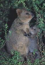 Australien: Grußkarte: Quokka - Kurzschwanzkänguru mit Joey