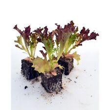 immergrüne Zierpflanze ✿ lecker Obst ✿ Kletterpflanze ✿ Samen Purpurgranadilla