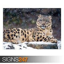 SNOW LEOPARD CUB POSTER ART PRINT PICTURE A3 11.7 × 16.5 INCH AMK2145