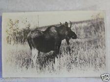 """RPPC Moose in the Arctic! Real """"Elite Studio"""" Photo """"AZO"""" B&W Postcard PC"""