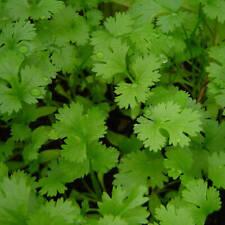 100% Coriandre Huile Essentielle-Coriandrum sativum ARTISANAL Huile Naturelle Gr...