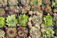 Sempervivum Samen-Mix, Hauswurz Mischung, winterhart, 200 Samen, Steingarten