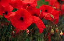 Papaver rhoeas - Red Field Poppy - Flanders poppy - various quantities - annual