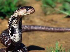 KING COBRA GLOSSY POSTER PICTURE PHOTO snakes venom dangerous plane india 746