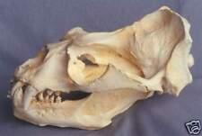 Southern S. American Sea Lion Skull Replica