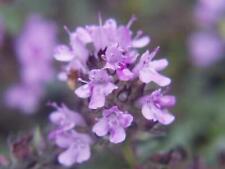 Thymus 12 Stück Thymus serpyllum Feld-Thymian winterhart Bodendecker