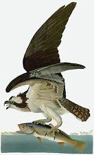 Audubon Reproductions: Birds of America: Osprey [Fish Hawk]: Fine Art Print