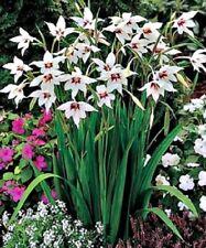 1-100 WHITE PEACOCK ORCHID BULBS/CORMS PERENNIAL GARDEN SUMMER FLOWER PLANT NOW