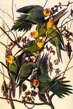 BIRDS OF AMERICA CAROLINA PARROTS AUDUBON PAINTING REPRO ON PAPER OR CANVAS