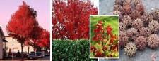 Prachtvolles Laub im Sommer & Herbst Winterh. Amberbaum