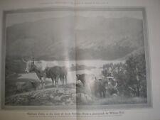 Printed photo Highland Cattle head of Loch Katrine from William Reid photo 1907