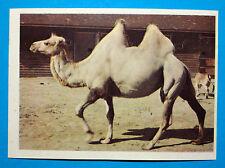 Figurina Panini-ANIMALI DI TUTTO IL MONDO 1965-n.142-CAMMELLO-rec