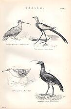 1880 Stampa ~ grallae ~ comon Snipe JACANA CINESE ACQUA RAIL Horned SCREAMER