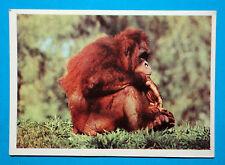 NEW-Figurina Panini-ANIMALI DI TUTTO IL MONDO 1965-n.37-ORANGO-NEW