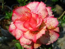 """ADENIUM OBESUM DESERT ROSE """"Petsayrung"""" 100 seeds"""