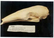 Tamandua (Anteater) Skull Replica