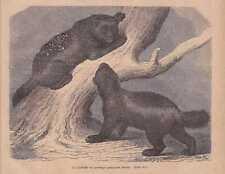 En gloutons Hamburger Zoo GLOUTON Gravure sur bois de 1868 Hambourg