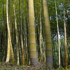 Giant Moso Bamboo Viable Seeds Uk Stock - Free Postage -