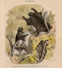 Stampa antica animali ANOMALURO o SCOIATTOLO VOLANTE 1860 Old print