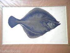 Solla anticuario, impresión de pescado plano c1880 mano color, peces/Pesca