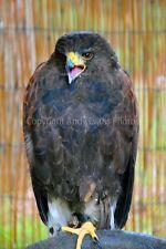 Harris Hawk Parabuteo unicinctus bird of prey photograph picture poster art prin