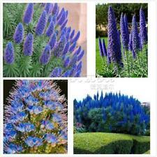 100 Echium Fastuosum Flower Seeds Mixed Pride of Madeira Perennial Plant Garden