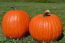 Big Max Pumpkin, Cucurbita pepo Big Max, Seeds (up to 100 pounds)