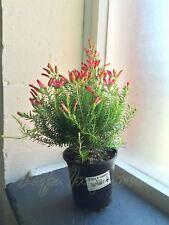 1 Hardy Heather Erica Oatesii Winter Fire Evergreen Shrub Outdoor Garden Plant