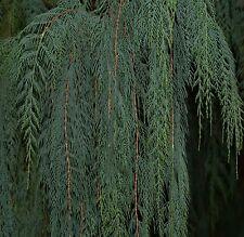 New listing Kashmir cypress Cupressus cashmeriana seeds