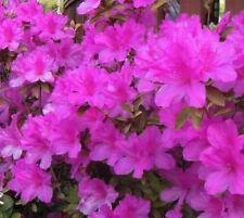 Autumn Royalty Purple Encore Azalea - Live Plant - Full Gallon Pot
