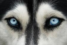 Stickers muraux autocollant déco : yeux de loup - réf 1449 (16 dimensions)