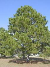 Loblolly Pine, Pinus taeda, Tree Seeds (Fast, Evergreen)