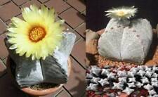 Seestern-Kaktus - stachelloser blühfreudiger Riesenkaktus für die Wohnung