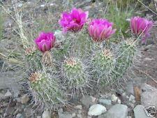 Echinocereus fendleri Hardy Hedgehog Cactus SEEDS!
