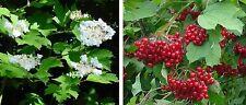 4 sizes of Guelder rose, shade loving hedge hedging plants 10 - 250 plant packs