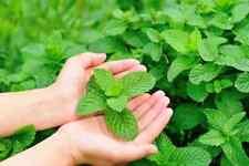 200 Mint Plant Seeds Fragrant Medicinal Green Herb Balm Tea Lemon