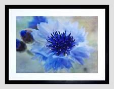 Azul Aciano Flor Floración marco negro montaje de imagen de impresión arte enmarcado B12X8337
