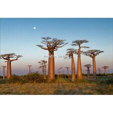 Wandaufkleber deko : Bäume afrikanische 1534