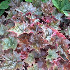 """heuchera Palace Purple landscape classic coral bells 2.5"""" pot ☆1 Potted Plant☆"""